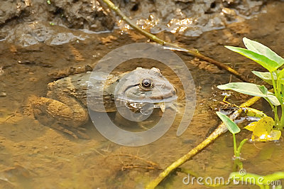 Thai frog in pond