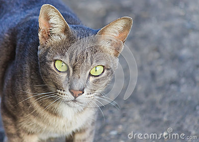 Thai gray cat face