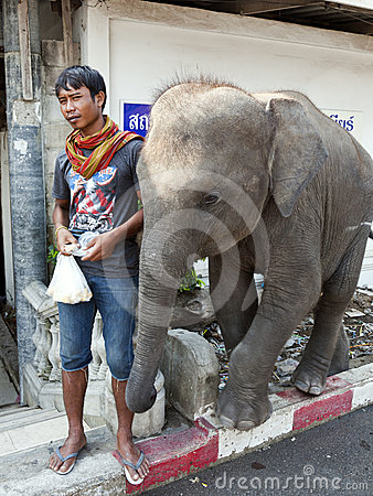 Thai Man with Elephant Calf Editorial Photography