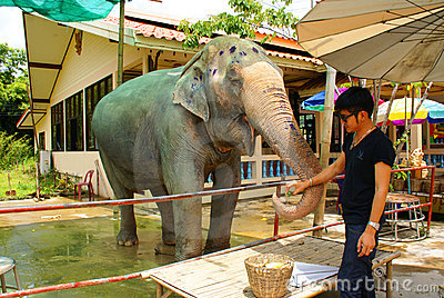 Thai man feeds an elephant. Editorial Stock Photo