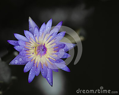 Thai purple  lotus in pond.