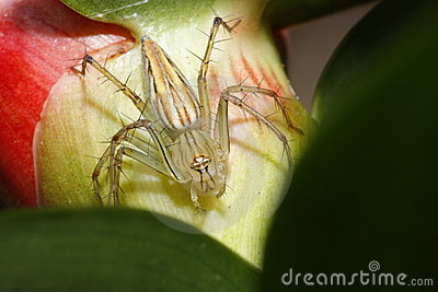 Thai spider
