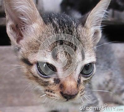 Thailand cats