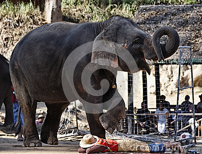 Thailand, Chiang Mai, asian elephant Editorial Photo