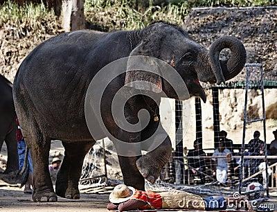 Thailand, Chiang Mai, asian elephant Editorial Photo