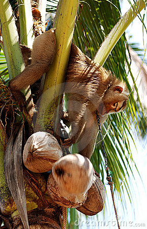 Free Thailand, Koh Samui: Monkey Harvesting Coconut Royalty Free Stock Photography - 5753937