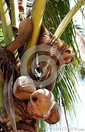 Thailand, Koh Samui: Monkey harvesting coconut