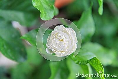 Thailand s jasmine.