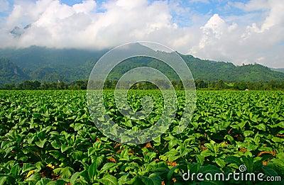 Thailand tobacco farm