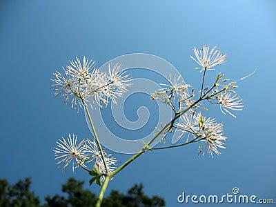 Thalictrum aquilegifolium, family Ranunculaceae