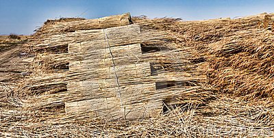 Thatching reed straw for roofing