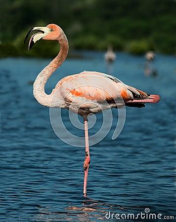 Free The American Flamingo (Phoenicopterus Ruber) Stock Image - 36425821