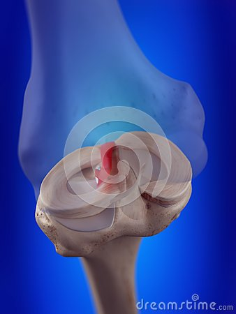 Free The Anterior Cruciate Ligament Royalty Free Stock Photo - 115815835
