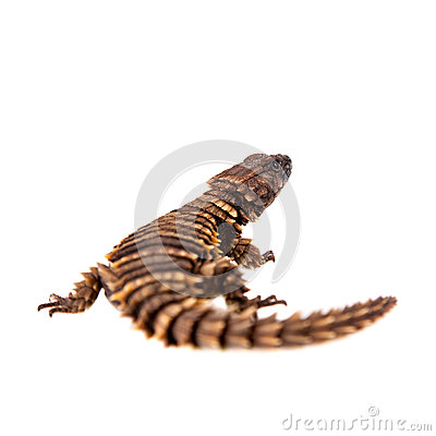 Free The Armadillo Girdled Lizard On White Stock Photos - 54557653