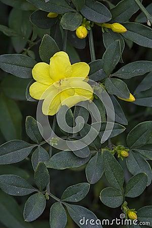 Free The Beautiful Primrose Jasmine In Blossom Royalty Free Stock Image - 75929626