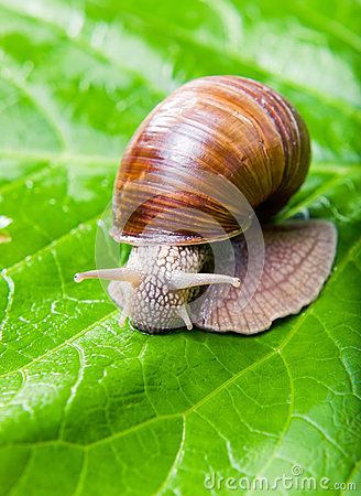 Free The Big Grape Snail Royalty Free Stock Photography - 25535057