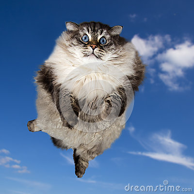 Free The Big Siberian Domestic Cat Flying Royalty Free Stock Images - 59797469