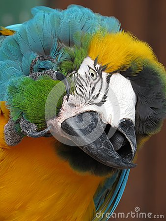 Free The Blue And Yellow Macaw Portrait Royalty Free Stock Photos - 110579848