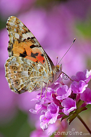 Free The Butterfly Vanessa Cardui Stock Photo - 4451510