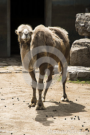 Free The Camel Royalty Free Stock Photos - 41630758