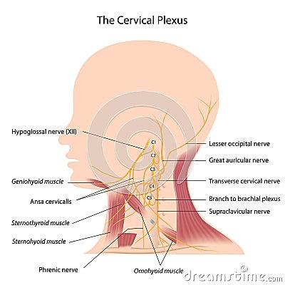 Free The Cervical Plexus Stock Image - 26274701