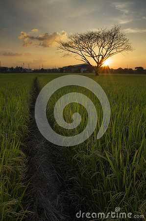 Free The Dead Tree In Rice Field Royalty Free Stock Images - 61645039