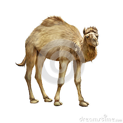 Free The Domestic Camel Standing, Isolated On White Royalty Free Stock Photo - 50677515