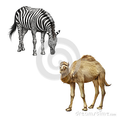 Free The Domestic Camel Standing, Zebra Bent Down Stock Image - 51249191