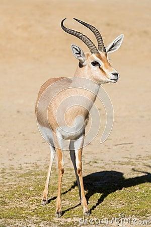 Free The Dorcas Gazelle Gazella Dorcas Royalty Free Stock Photography - 137827707