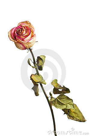 Free The Dried Rose Royalty Free Stock Photo - 23683965