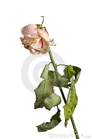 Free The Dried Rose Royalty Free Stock Photos - 23900118