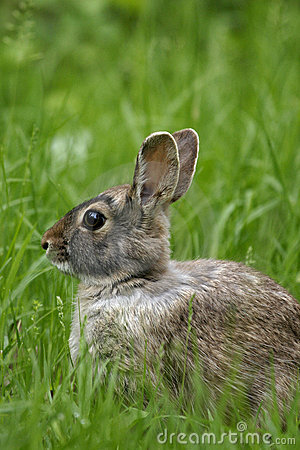 Free The Eastern Cottontail (Sylvilagus Floridanus) Stock Photography - 9835392