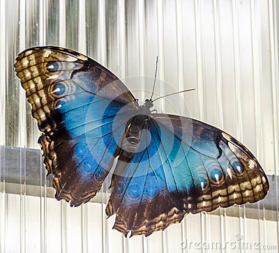 Free The Emperor Butterfly (Apatura Iris), Eurasian Butterfly Of The Nymphalidae Family Stock Image - 43447991