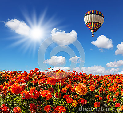 Free The Fields Of Red Garden Buttercups Royalty Free Stock Images - 88547169