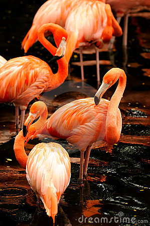 Free The Flock Of Pink Flamingo Royalty Free Stock Photo - 10952175