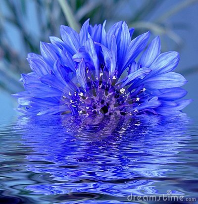 Free The Flower Reflected In Water Stock Photo - 496000