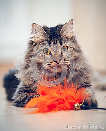Free The Fluffy Cat Plays With A Toy. Royalty Free Stock Photos - 53061848