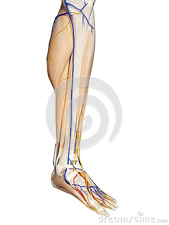 Free The Foot Anatomy Royalty Free Stock Image - 101197096