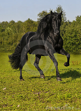 Free The Free Black Horse Run Gallop On The Field Stock Photos - 10628353