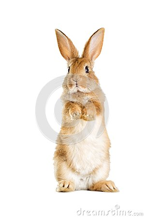 Free The Funny Rabbit Is Standing On Its Hind Legs Stock Photo - 92752580