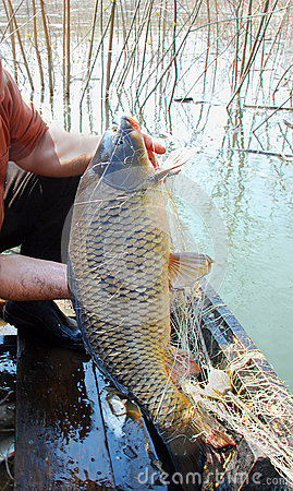 Free The Golden Carp Of Seven Kilograms, River Networks Royalty Free Stock Photography - 81934047