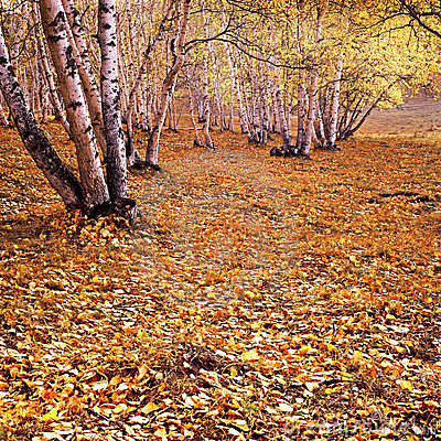 Free The Golden Fallen Leaves Stock Photos - 23347473