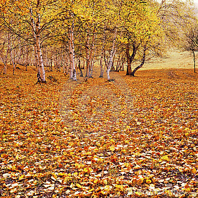 Free The Golden Fallen Leaves Stock Image - 23347631