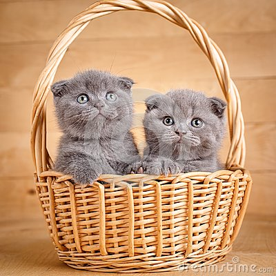Free The Gray Color Scottish Fold Cats Sits In A Wicker Basket. A Playful Kittens. Cat Food Promotion Stock Photo - 101468030
