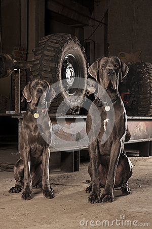Free The Great Dane Royalty Free Stock Photo - 50137285