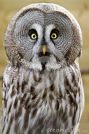 Free The Great Grey Owl Or Lapland Owl, Strix Nebulosa Royalty Free Stock Image - 24785946