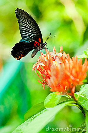 Free The Great Mormon Butterfly On Tropical Flowers Royalty Free Stock Photography - 22308347