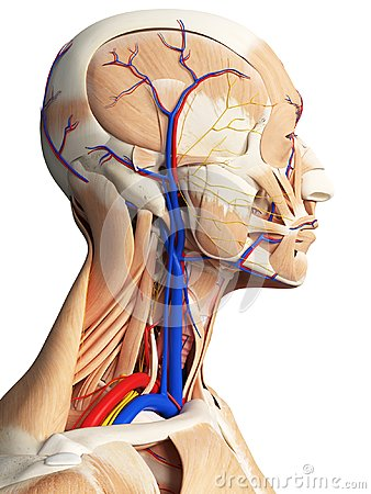 Free The Head And Neck Anatomy Stock Image - 101197121