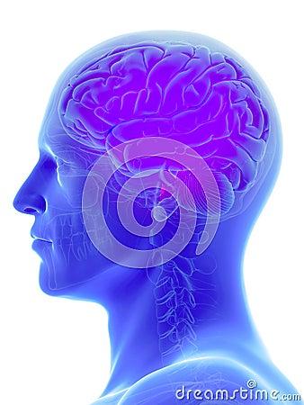 Free The Human Brain Royalty Free Stock Photo - 100669145