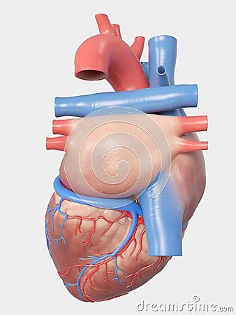 Free The Human Heart Anatomy Stock Photography - 127832522